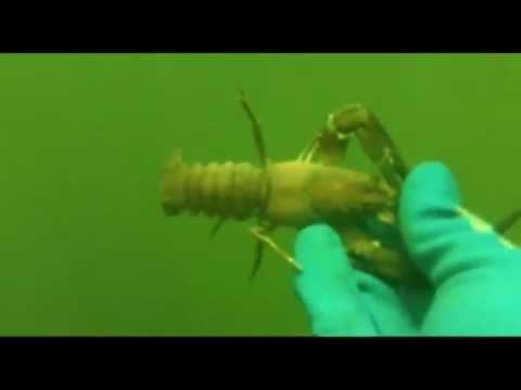 Crawfish Diving at Ririe Reservoir