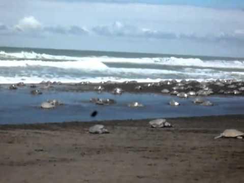 Olive Ridley sea turtle Arribada at Playa Ostianal, Costa Rica.mp4