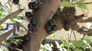 YVAPURÛ (Plinia trunciflora)