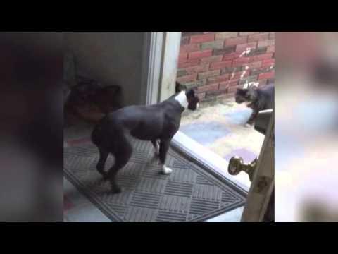 ドアの先には猫が。閉まるドアを何度も犬が押して開いて中に入れる!?