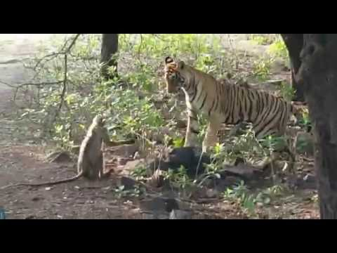 Wild tigress catchs a monkey but she didn't eat him - latest video
