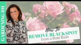 Gardening: How to Treat Blackspot on Rose Bushes