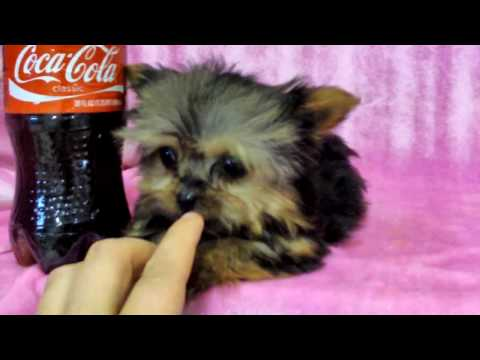 Yorkiepuppies Youtube on The Smallest Yorkie Puppy In The World