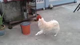 Lovely dog n cock funny fight....🙂🙂