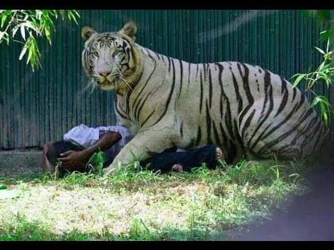 Tiger Saving The Man It Killed In Delhi Zoo?  A New Debate