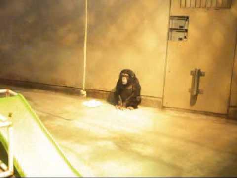いしかわ動物園 チンパンジー イチゴ♀ 2010/10/16