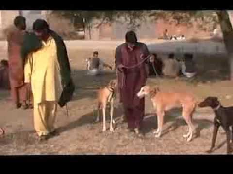 Khargosh Ka Shikar Parhal 2013-2014 Part 1
