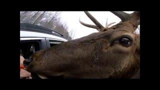 大きい鹿が車に寄ってきた!?カメラをペロンペロン♪