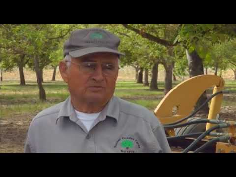Basic information about budding and grafting walnuts - UCANR