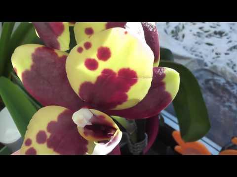 Новые орхидеи Мини и Восковая красавица