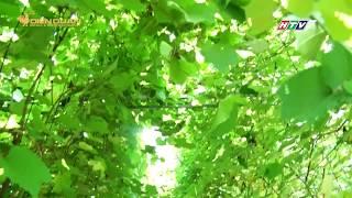 Chuyện lạ có thật trồng nho không để lấy trái mà chỉ ăn lá