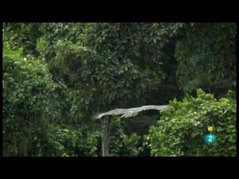 Documental sobre las águilas arpías o come-monos, que habitan en la