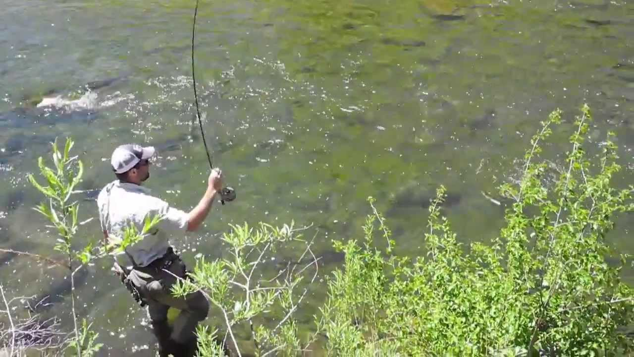 Elevenmile canyon cutthroat trout dry fly fishing 11 for 11 mile fishing report