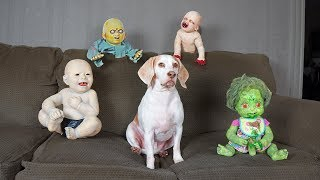 Cute Dog vs Zombie Babies Halloween Prank: Cute Dogs Maymo & Potpie