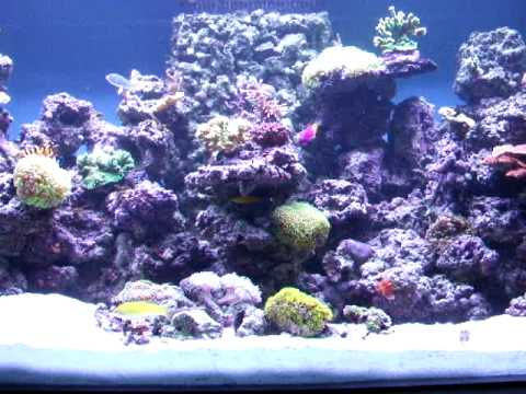 100 Gallon Marine Reef Tank. salt water aquarium. Corals Fish