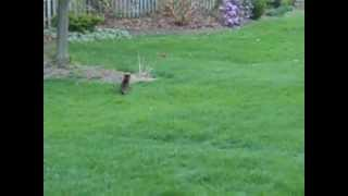 Our 15 1/2 year old cat still hunts rabbits.