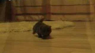 Blue Persian Kitten - First Steps - 1 Month Old