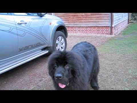 Naughty Newfie on Holiday