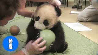 Cute Baby Pandas Playing Compilation - TRY NOT TO LAUGH!