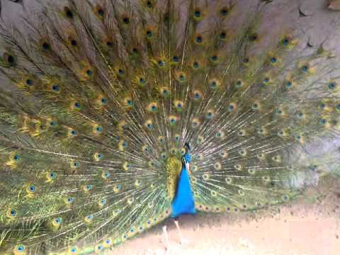Chakwal Dancing Of Peacock at my Home