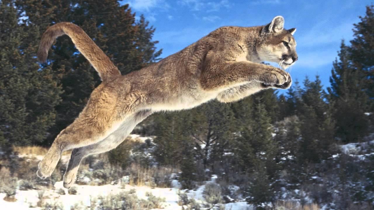 Track Identification: Cougar, Lynx, Bobcat - YouTube African Lion Footprints