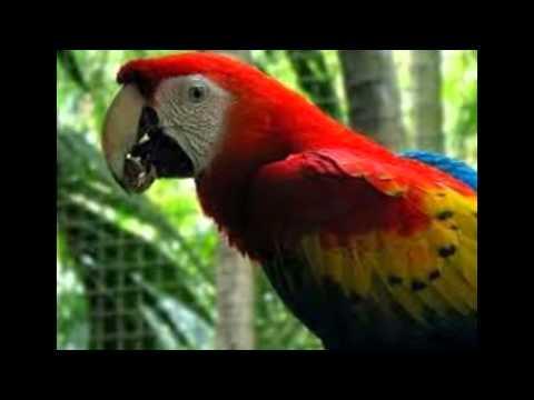 Melatih Burung Nuri Agar Cepat Bicara video