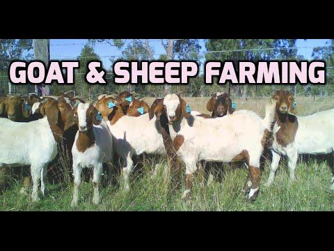 Goat and sheep farming - Paadi Pantalu