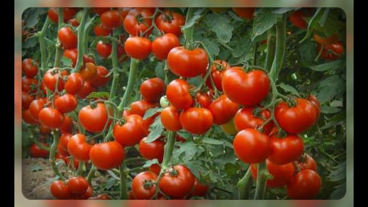 Терёхины по выращиванию томатов 27