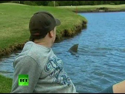 Killer Sharks Videos Killer Sharks Invade Golf