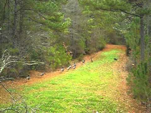 Food Plots For Turkeys Wild Turkey on Food Plot
