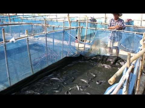 เลี้ยงปลาดุก ด้วยกระชังบนดิน (3) Music Videos