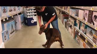 Dog Training: Doberman, 7 Month Old Currency! Before/After Two Week Board and Train