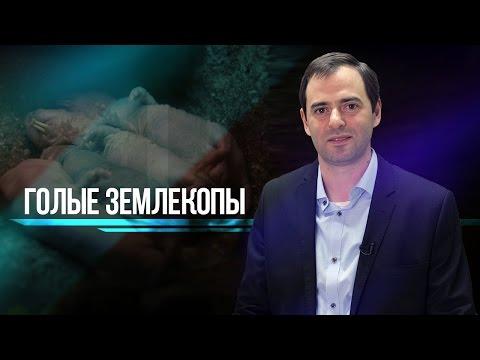 Голые землекопы в Москве: в МГУ появилась колония нестареющих животных