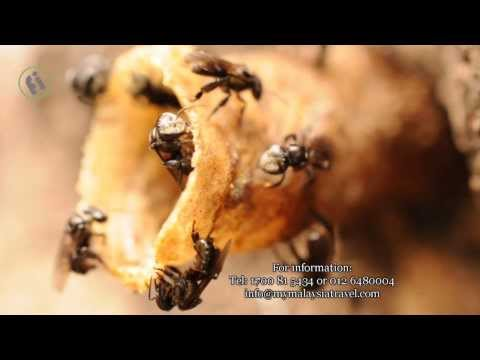 Kelulut, The Stingless Bee