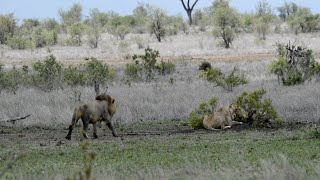 Lioness Shows Lion Who Is Boss