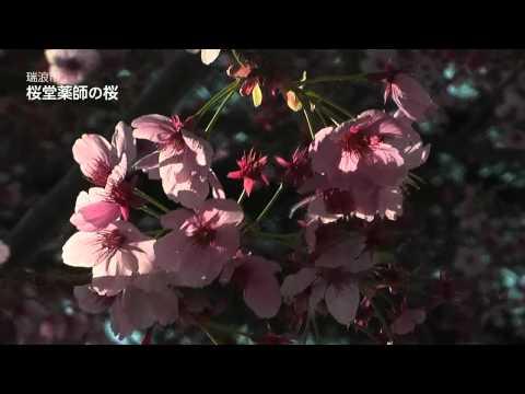 瑞浪市 「桜堂薬師」 ~桜~