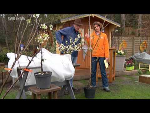 kirschen pflanzen und befruchten kaffee oder tee. Black Bedroom Furniture Sets. Home Design Ideas