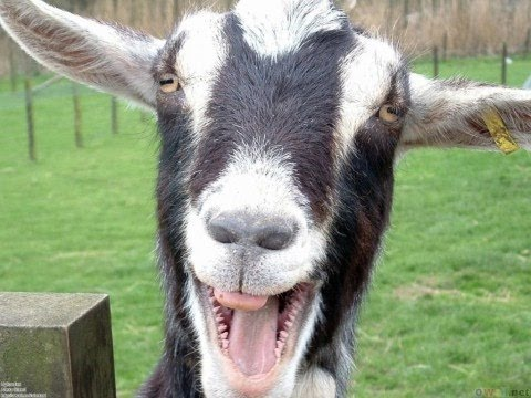 Funny Goats Screaming Like Humans video