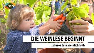 Den Reben geht's an den Kragen | RON TV | Sendung vom 16.08.2017