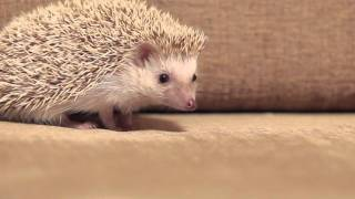 the cutest hedgehog  / Милый Ёжик