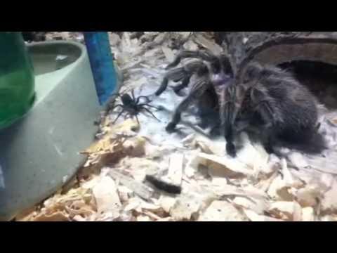 Tarantula V.S. BIG WOLF SPIDER