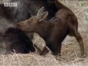 BBC: Moose v Wolf Pack - A Moose Named Madeline