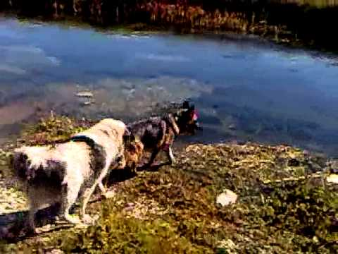 Tornjak vs german shepherd