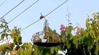 chim sâu đầu đỏ mồi clip 5_thaonguyen
