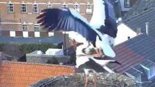 Time lapse the process of nesting and raising stork's children