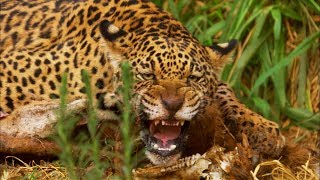 Jaguar Cubs Fight for Food | Jaguars Born Free | BBC Earth