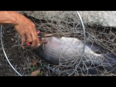 Tilapia Bait  M   I R   Phi  18 How To Make Tilapia Bait