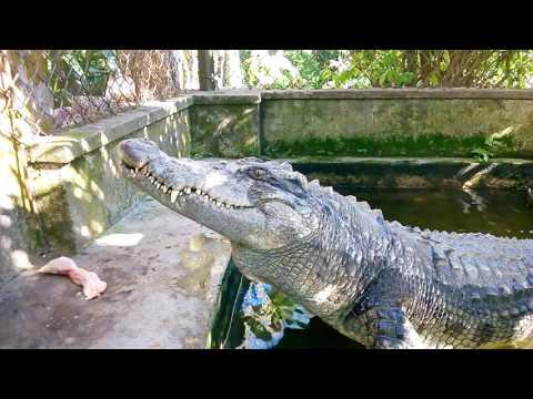 Câu cá sấu, cho cá sấu ăn