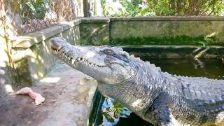 Fishing and Feeding Crocodile (Câu cá sấu, cho cá sấu ăn)