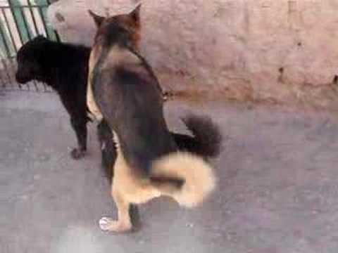 perros fornicando